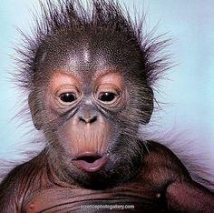004a9ae2180f796a6208c438d6bda507--orang-utan-baby-orangutan.jpg