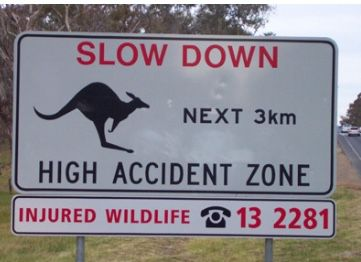 Watch out for kangaroos on Canberra roads! | Uber Drivers Forum