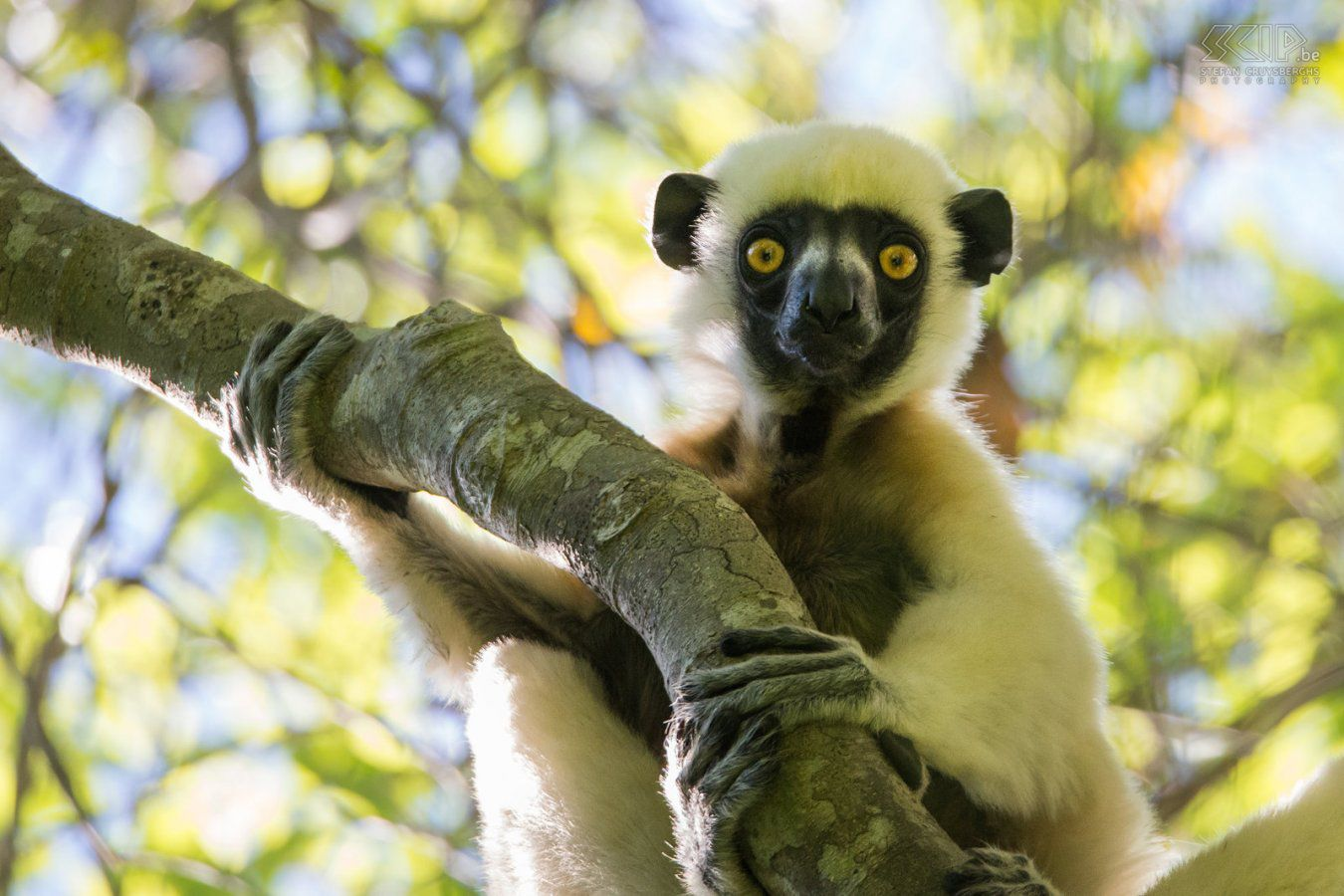 0699 - Madagascar - Tsingy groot - Decken's sifaka.jpg