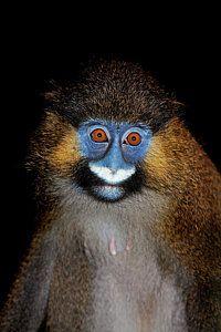 1-moustac-bleu-cercopithecus-cephus-gerard-lacz.jpg