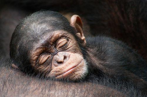 33466-Sleeping-Chimp.jpg
