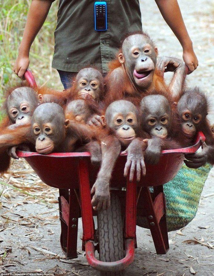 95a7f146f3413670c9e723956ad9af02--orangutan-baby-holy-cannoli.jpg