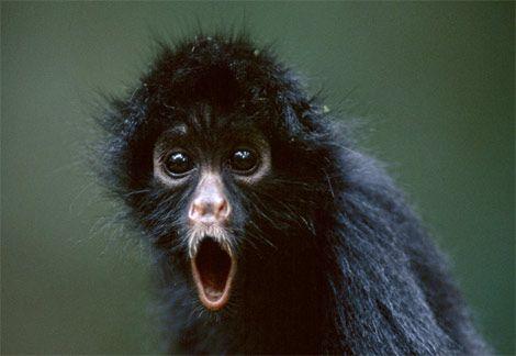 black-spider-monkey-ga.jpg