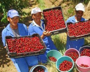 cherry-pickers-_-dutoit-300x240.jpg