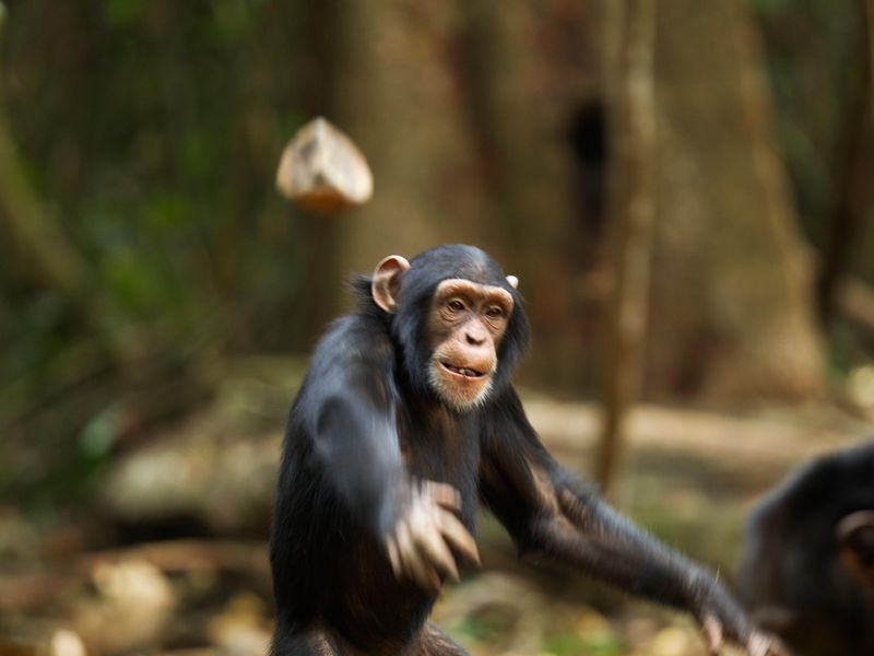chimp_throwing_rock_corbis.jpg