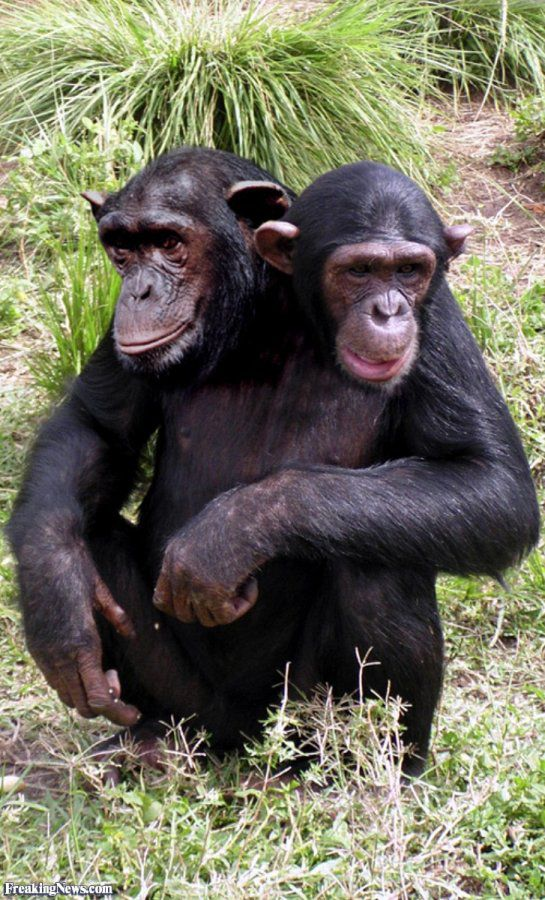 Chimpanzee-with-Two-Heads--22547.jpg
