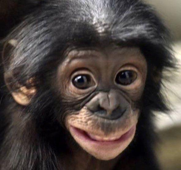 Copy of f42ea9822cda506c364abb4c8a86fc82--monkey-business-orangutans.jpg