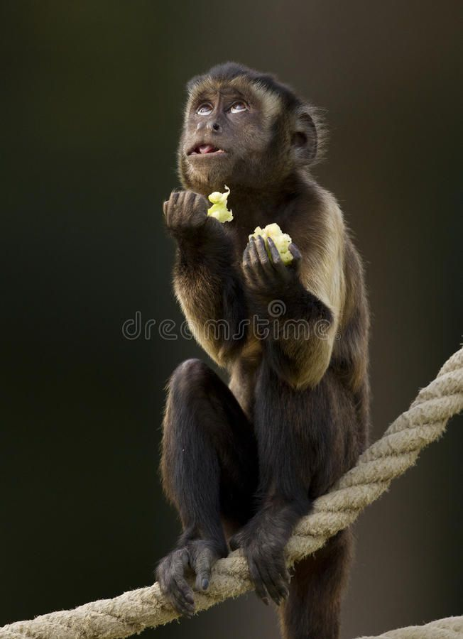 Copy of funny-monkey-praying-small-food-standing-rope-83040281.jpg