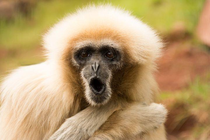 Copy of monkey-1807173__480.jpg