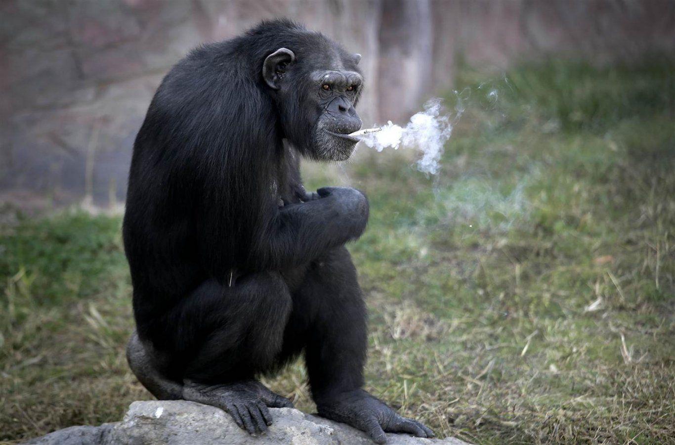 Copy of monkey smokin 1.jpg