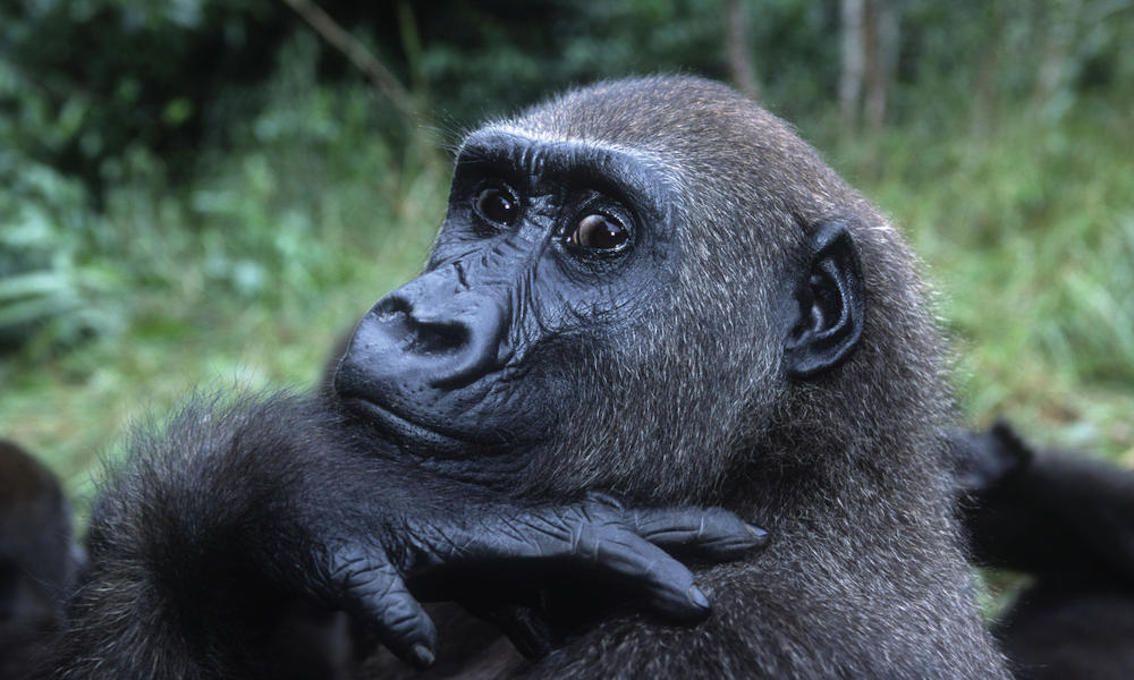 GorillaWesternLowlandGabon.jpg