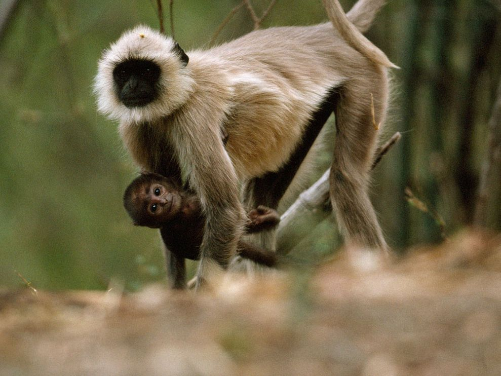 langur-monkey_13421_990x742.jpg