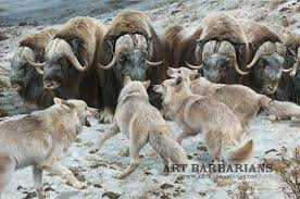 musk oxen wolf pack.jpg