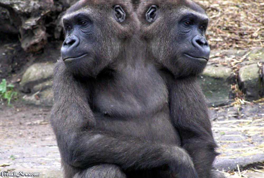Two-Headed-Gorilla-25908.jpg